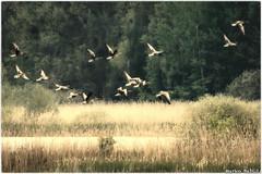 Gänse im Flug - Müritz-Nationalpark (markobablitz) Tags: canon eos70d gänse goose grün green müritznationalpark deutschland germany mecklenburgvorpommern