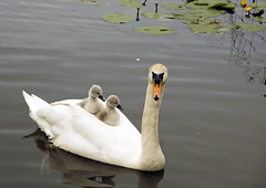 Riding the swan (scbeck11) Tags: swan cygnets water pond london chingford connaught waters eppingforest nature bird
