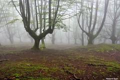 Como candelabros. (Howard P. Kepa) Tags: paisvasco euskadi bizkaia durango montesdedurango urkiola anboto hayas ramas hierba verano niebla