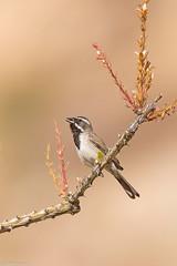 black-throated sparrow borrego springs california (lee barlow) Tags: d7200 amphispizabilineata birdsofcalifornia birdsofnorthamerica blackthroatedsparrow borregosprings california leebarlow nikon