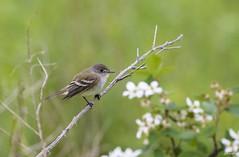 Willow Flycatcher (swmartz) Tags: birds mercercounty outdoors nikon nature newjersey may 2017 wildlife
