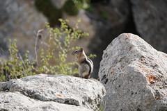 JLS09855 (Jenny Lynne Semenza) Tags: goldenmantledgroundsquirrel