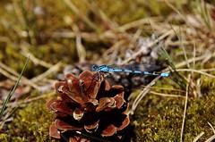 Nicht am Wasser und allein (ღ eulenbilder - berti ღ) Tags: libelle zapfen tannenzapfen hiltrupersee