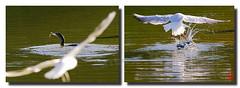 """""""Pauvres oiseaux qui ne mangent qu'à grand-peur."""" (mamnic47 - Over 7 millions views.Thks!) Tags: parcdeschanteraines hautsdeseine oiseaux 31052017 sigma150600mm 6c8a2323m cormoran pêche mouetterieuse attaque"""