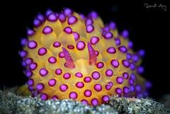 Janolus savinkini (Randi Ang) Tags: janolussavinkini janolus savinkini padang bai padangbai bali indonesia underwater scuba diving dive photography macro randi ang canon eos 6d 100mm randiang nudi nudibranch seaslug