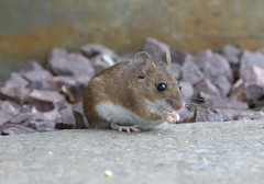Chocolate Hobnobs (KHR Images) Tags: woodmouse wood mouse apodemussylvaticus wild mammal rodent longtailedfieldmouse nocturnal scottish highlands scotland nature wildlife nikon d500 kevinrobson khrimages