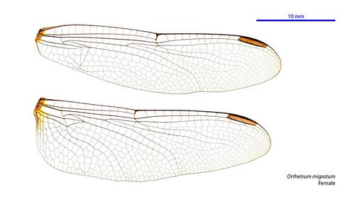 Orthetrum migratum female wings