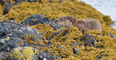 Otter (KHR Images) Tags: otter lutralutra dog male wild mammal isleofmull innerhebrides scotland kelp seaweed nature wildlife nikon d500 kevinrobson khrimages