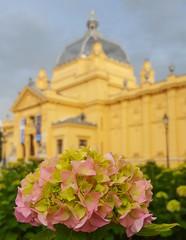 (Iggy Y) Tags: hydrangea macrophylla spring blossom flower pink color flowers green leaves hazu building old zagreb hortensia hortenzija velelisna bigleafhydrangea sky cloud