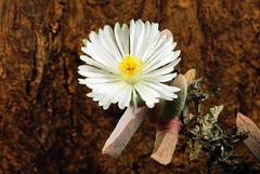22 avril 2017 - Juttadinteria simpsonii H4559 (Mafate79) Tags: 2017 juttadinteriasimpsonii h4559 aizoaceae aizoacées aizoacée mesemb mesembryanthemaceae mesembryanthemacées mesembryanthemacée plante fleur
