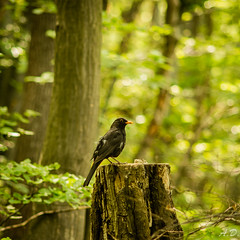 little friend in the forest (angel.doychinov) Tags: bird nature forest vitosha bulgaria sofia europe bokeh pentax smc pentaxm 135mm k5 green smcpm135mmf35