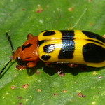 Chelobasis bicolor or Arescus sp.? Chrysomelidae, Cassidinae, Arescini thumbnail