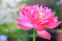 等待今朝 (湯小米) Tags: canon 1dx ef100mmf28marco 微距 lotus 荷花