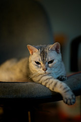 On the chair (h329) Tags: 75mm chair f14 summilux cat leica m