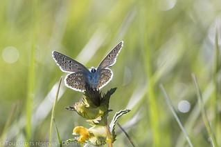 Azuré commun - Common blue