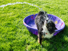 And Then This Happened (jayvan) Tags: dash aussie australianshepherd dog water pool playing fun watersports home portland oregon summer sony twtme