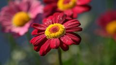 coeur fondant (christophe.laigle) Tags: rouge fleur macro anthemis nature flower fuji xf60mm xpro2 christophelaigle red