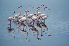 DSC_9331 (Sassaker2010) Tags: capetown southafrica flamingo woodbridgeisland milnerton