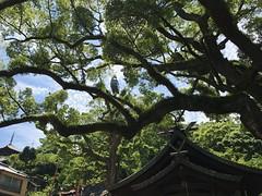 ONOMICHI DAYS - Ushitora Shrine (junog007) Tags: iphone onomichi hiroshima summerl senkoji shurine camphortree ropeway