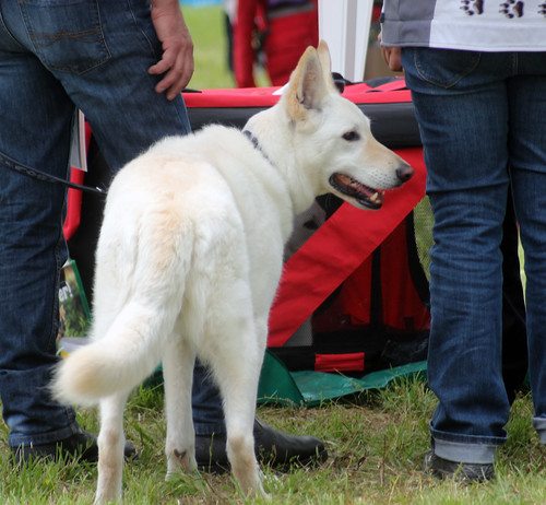 Berger Blanc Suisse at dog show
