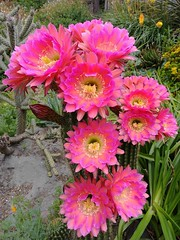 Cactus Flower Profusion (RZ68) Tags: cactus pink hot flowers blooming trumpet big red spines green many group beautiful dessert plant garden may 26 2017 succulent