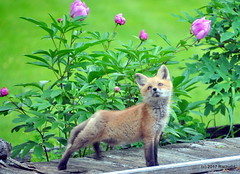DSC_0721 (rachidH) Tags: fox renard vulpes foxcub renardeau redfox renardroux vulpesvulpes backyard frontyard wildlife sparta newjersey nj rachidh nature