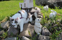 Four bunnies, of which one is the distant cousin... (andymiccone) Tags: cat katze katt kissa feline tabby chat gato white angora animal beautiful cute pet domestic heyni kitten heini siberian