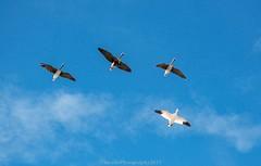 AUR_8350s (savillent) Tags: geese snow specklebelly birds nature sky nikon telephoto lens 70200 tuktoyaktuk northwest territories canada wildlife outdoors blue spring may 2017