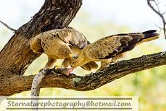 DSC01115 copy (naturephotographywildlife) Tags: kruger wildlife scenery animals birdlife a99ii africa park eagle