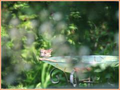 Back Garden Bokeh (bigbrowneyez) Tags: bird splashing bath birdbath wet flickerwet dreamy soft bokeh fresh cute adorable wonderful striking fun funny pleasing delightful shrubs trees uccello feathers wings sweet precious dolce mybackgarden miogiardino hidden birdie tiny frame cornice lovely pretty nature natura