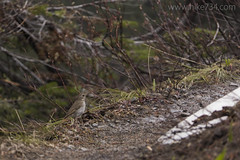 "Hermit Thrush • <a style=""font-size:0.8em;"" href=""http://www.flickr.com/photos/63501323@N07/34538823774/"" target=""_blank"">View on Flickr</a>"