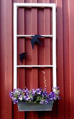 Frame on the wall (Jaedde & Sis) Tags: öland storafrögården wall flowers frame phone challengefactorywinner thechallengefactory