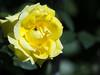 Capturando la luz; rosa amarilla / Capturing light; yellow Rose (Tonigp) Tags: rosa amarillo flor naturaleza vede verano insecto mosca luz