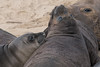 Ano Nuevo (mconn19) Tags: elephantseals anonuevo california wildlife sony alpha7r2