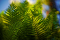#83 - Between the fern / V kapradí (photo.by.DK) Tags: fern inthefern oldlens legacylens russianlens projector projectorlens sonya7 sonyilce sony russian bokeh