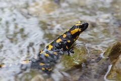 Feuersalamander (Aah-Yeah) Tags: feuersalamander salamander larven weibchen caudata schwanzlurch achental chiemgau bayern