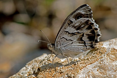 Hipparchia fidia - the Striped Grayling (BugsAlive) Tags: butterfly butterflies mariposa papillon farfalla schmetterling бабочка animal outdoor insects insect lepidoptera macro nature nymphalidae hipparchiafidia stripedgrayling satyrinae wildlife ardèche plateaudesgras bidon liveinsects france