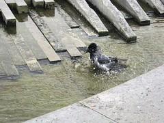 Refreshing bath (mattisunell) Tags: berliini berlin lustgarten fountain crow bath