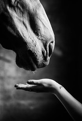 seeking connection (Jen MacNeill) Tags: horse animal equine hand equestrian reaching love horses muzzle connection desire blackandwhite bnw bw stable