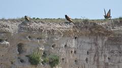 L'habitat du guêpier (MICHELGAILLARD) Tags: