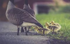 Wait for mamma ... (jm atkinson) Tags: 7dwf freetheme goosling geese maine rural