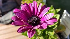 African Daisy (Shannon M Blake) Tags: africandaisy daisy purple flowers garden botanical greenthumb summer spring playininthedirt