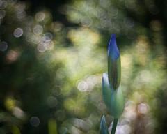 Great Expectations (ursulamller900) Tags: trioplan2950 iris blue green bluegreen bokeh mygarden