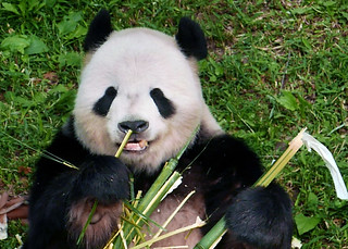 Tian Tian (You wine connoisseurs should be familiar with boo-eating basics–look, sniff, taste.) 2017-05-10 at 9.31 AM