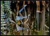 Hufeisen-Azur-Jungfer bei der Eiablage.... (karin_b1966) Tags: insekt insect libelle damselfly wasser water reflektion reflction natur nature teich pond 2017 hufeisenazurjungfer yourbestoftoday