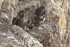 Peregrine Falcon Chicks (muzza_buck) Tags: falcon raptor chick nest sigma 150500 bird california