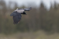 Fishing Crow (eric-d at gmx.net) Tags: eric ericdgmxnet crow nebelkrähe krähe raven rabenvogel