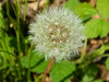 Dandelion Blowball (Make A Wish) (swimfan2k) Tags: floral dandelion nature plant wishes blowball