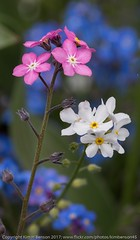 Pink, white and blue (kimbenson45) Tags: blue bokeh closeup colorful colors colourful colours differentialfocus flower flowers garden green macro nature outdoors petals pink plant shallowdepthoffield white yellow flowerscolors
