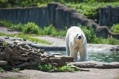 AR2017_0517_Blijdorp_8552 (Adri Rovers) Tags: blijdorp rotterdam zuidholland gewervelden ijsbeer zoogdieren